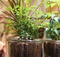 ハイドロカルチャー 観葉植物 育て方